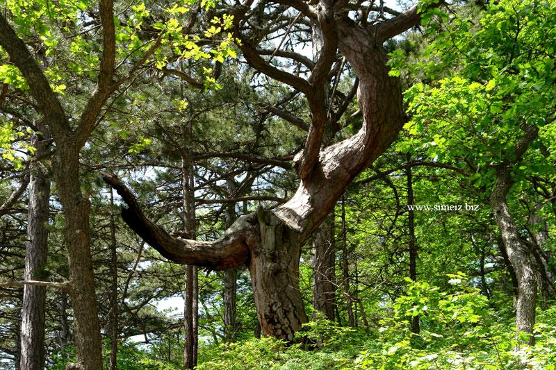 Горный лес над Симеизом