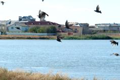 Поселок Береговое. Скворцы над озером Аджи-голь