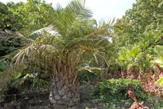 Никитский сад. Саговая пальма