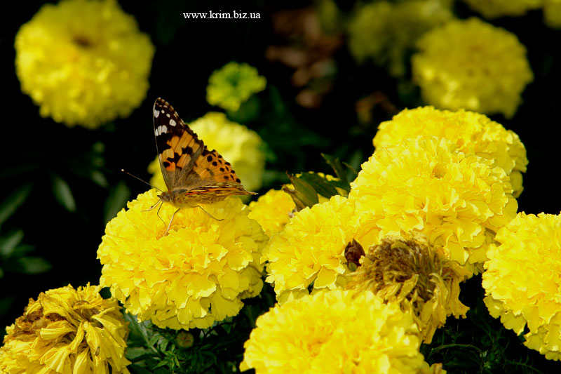 Бабочки Ялты