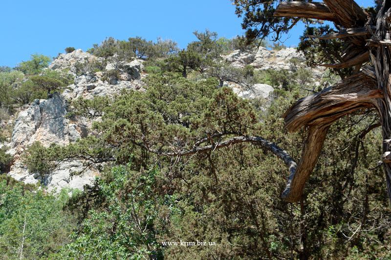 Сарыч, можжевеловый лес