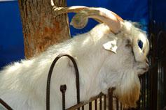 Симферопольский зоопарк. Самец козы камерунской