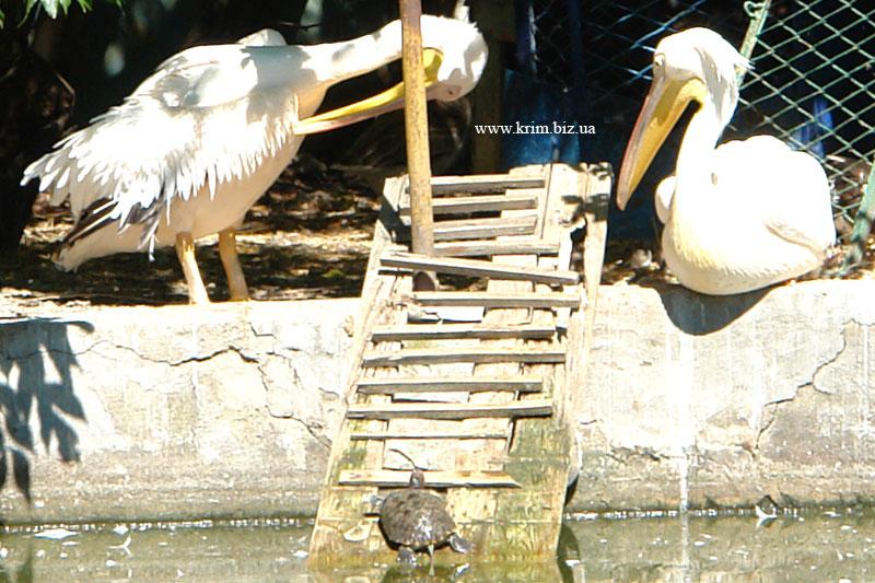 Симферопольский зоопарк. Кудрявый пеликан