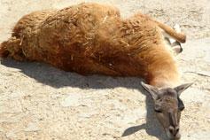 Симферопольский зоопарк. Лама