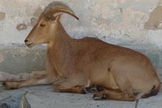 Симферопольский зоопарк. Баран гривистый