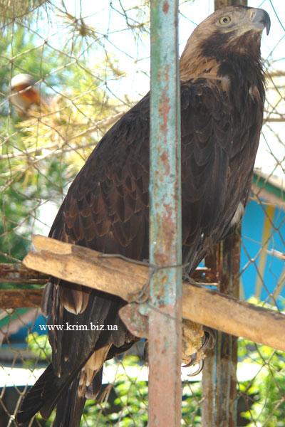 Симферопольский зоопарк. Степной орёл
