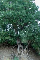 Крым. Утёс. Малый Маяк. Обнаженные корни дерева