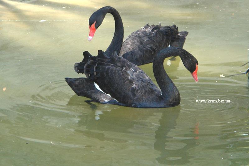 Ялтинский зоопарк Сказка. Австралийский чёрный лебедь