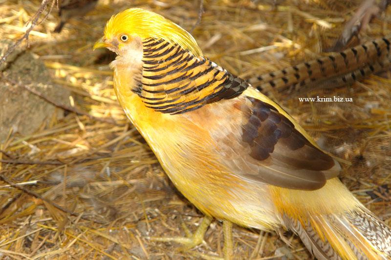 Ялтинский зоопарк Сказка. Золотой фазан