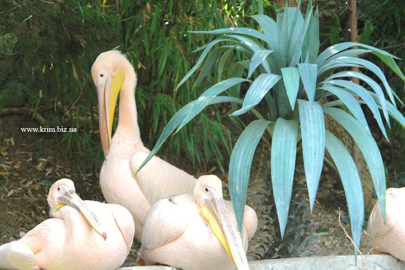 Ялтинский зоопарк Сказка. Розовые пеликаны