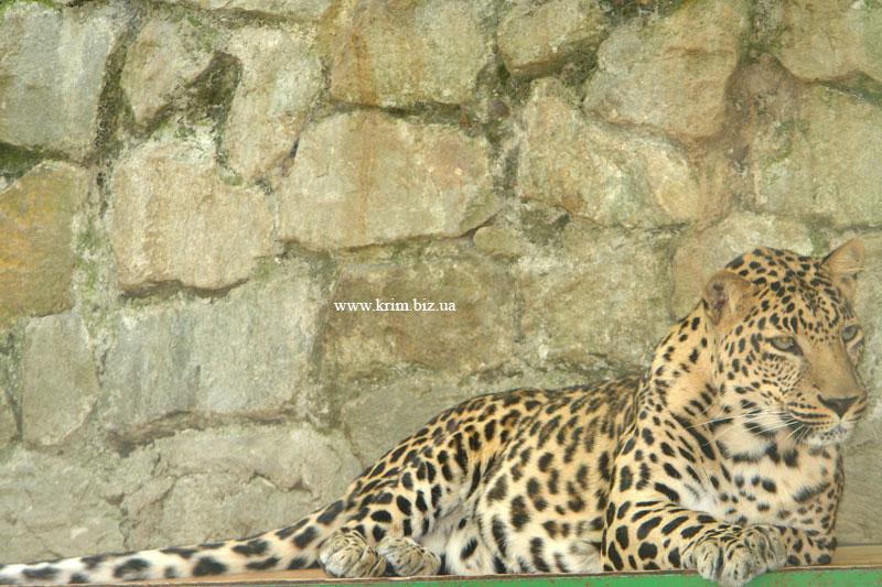 Ялтинский зоопарк Сказка. Леопард