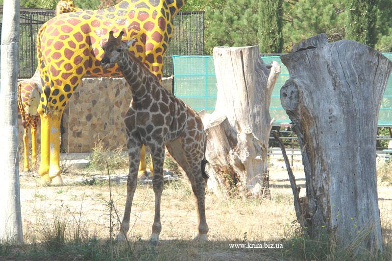 Ялтинский зоопарк Сказка. Жираф.